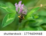 Wilke's Mining Bee On Red...
