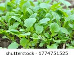 Mustard Sprouts Grown For...