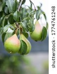 Ripening Pears On A Tree In Th...