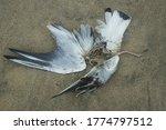 Dead Gull On Lying On A Sandy...