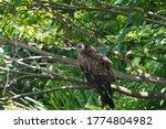 Wild Black Kite In On Branch ...