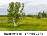 Birch trees and beautiful scenery at Crex Meadows State Wildlife Area, Grantsburg, WI