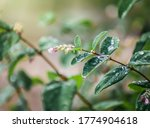 Snowberry In Drops Of Water...
