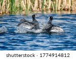 American Coots In Alberta Canada