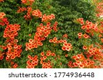 Small photo of Bright red flowers of the trumpet vine or trumpet creeper - Campsis radicans.