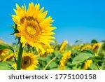 Beautiful Sunflowers On...
