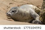 A Little Seal At The Beach Of...