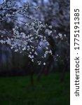 Pear Flowers In Spring Season....