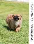 Funny Pekingese Dog Running At...