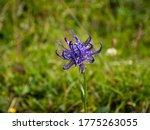 Wild Blue Violet Flower In A...