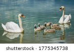 Swan Family On The Lake. Little ...