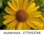 Yellow Daisy Flowers...