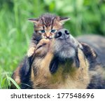 Stock photo little kitten lying on dogs head 177548696