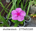 a image of pink flower with... | Shutterstock . vector #1775652185