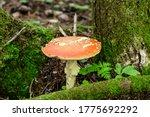 Amanita Poisonous Mushroom In...