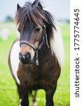 Shetland Pony. Miniature Pony...
