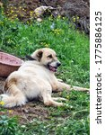 Anatolian Shepherd Dog  Resting ...
