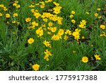 Florescence Of Coreopsis...