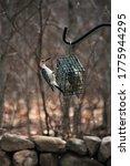 Red Bellied Woodpecker On Suet...