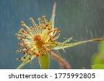 Fallen inflorescence of wild rosehip flower