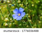 Flax  Linseed  Flower  ...