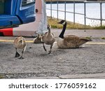 Canada Geese Rearing Chicks In...