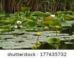 waterlilies in the danube delta ...   Shutterstock . vector #177635732