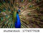 Peacock Tail. Elegant Colourful ...