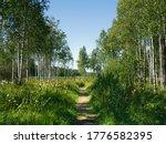 A Shady Birch Path In The...