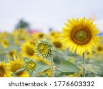 Close Up Beautiful Sunflower O...