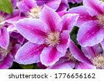Raindrops On A Pink Clematis...