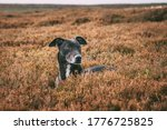 Lurcher In The Heather. Not A...