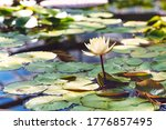 Bright White Water Lily. Flowe...