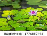 Bright Violet Water Lily....