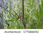 Small photo of A Juvenile Red-Browed Finch (Neochmia Temporalis) in Tumut Wetlands, NSW, Australia