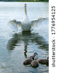 A White Swan Female With Small...