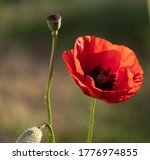 One Red Poppy Flower  A Box Of...