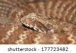 Small photo of Death adder (Acanthophis pyrrhus)
