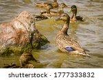 A Female Mallard Duck Stands I...