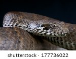 Small photo of Death adder / Acanthophis antarcticus