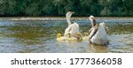 A Goose With Small Goslings...