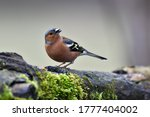 The Common Chaffinch Perched O...