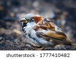 Sparrow In Rainy Day Scene....