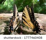 Hybrid Monarch Butterflies...