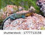 Collard Lizard On A Rock.