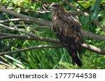 Black Kite Is On Branch     ...