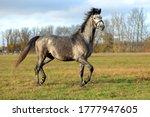 Pure Arabian Dapple Grey Horse...