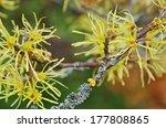 hamamelis virginiana  | Shutterstock . vector #177808865