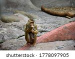 A Female Rhesus Monkey  Macaca...