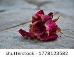 Lovely Broken Dry Pink Rose...